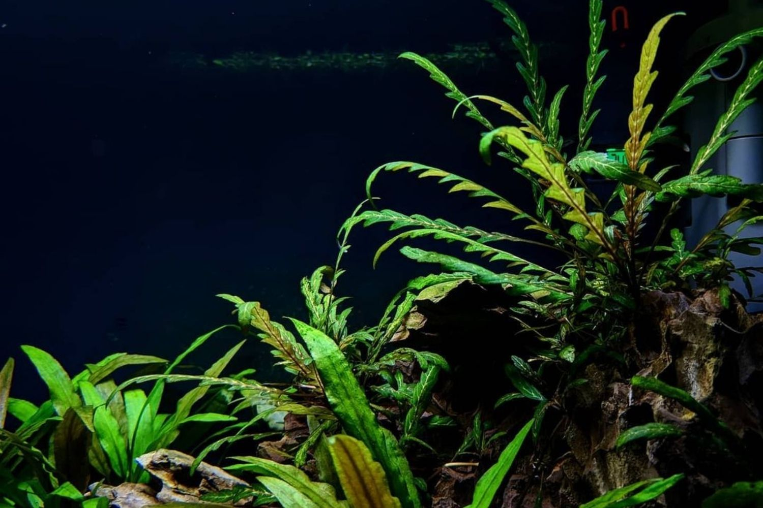 You are currently viewing Hygrophila Pinnatifida – Planting and Maintenance Guide