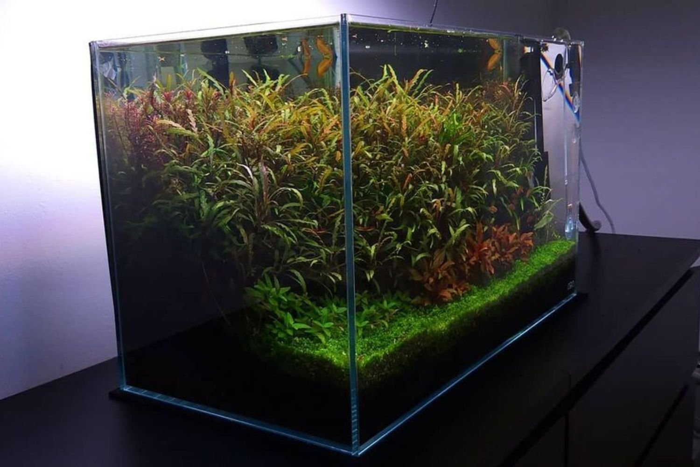 Hygrophila Pinnatifida Plant Aquarium