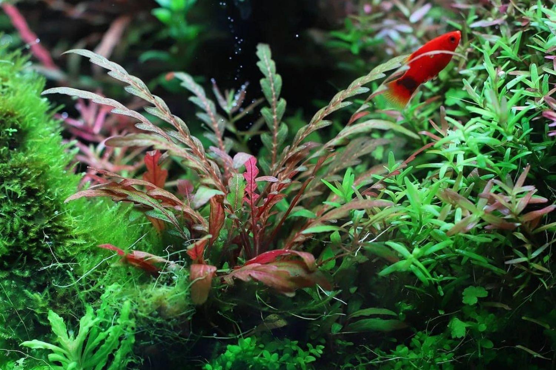 Hygrophila Pinnatifida Plant Red Aquarium Tank Mates