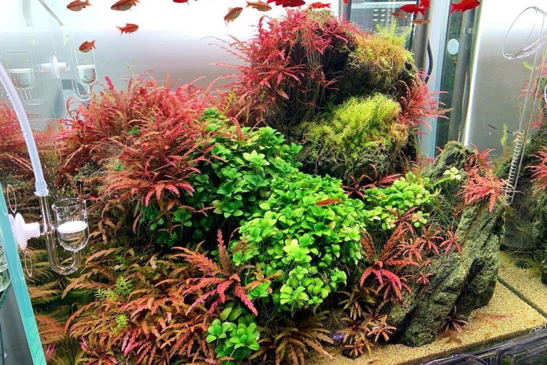 Hygrophila Pinnatifida Red Plant Aquarium Appearance