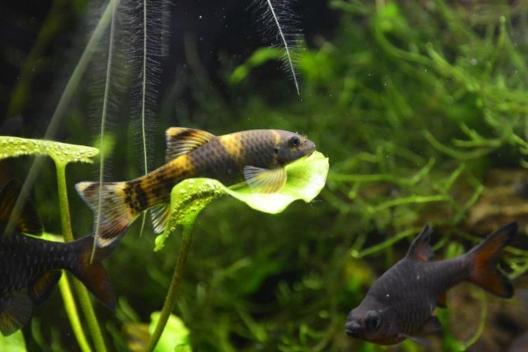 Panda Garra Fish Hanging on Leaves