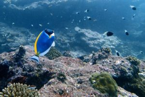 Read more about the article Powder Blue Tang – Care Guide, Tank Requirements, Diet and More
