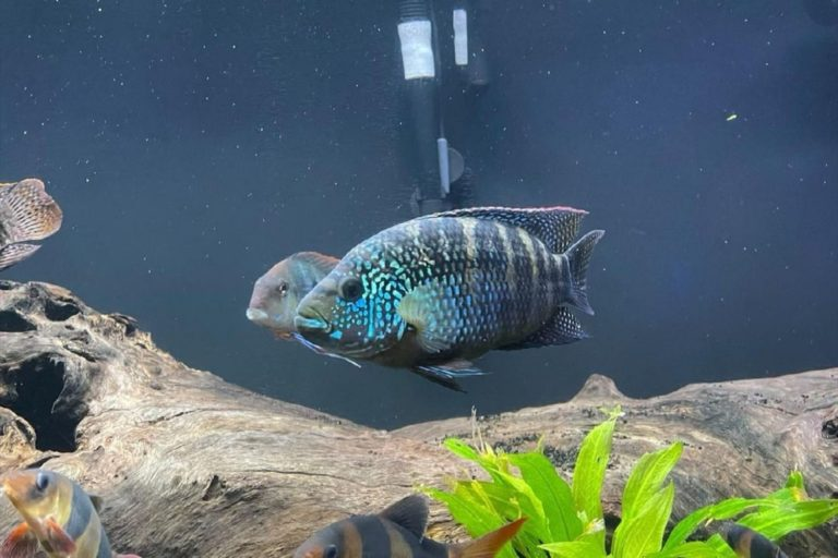 Jack Dempsey Cichlid Aquarium