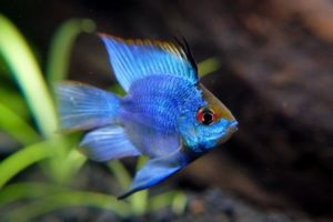 Read more about the article Electric Blue Ram Cichlid – Care Guide