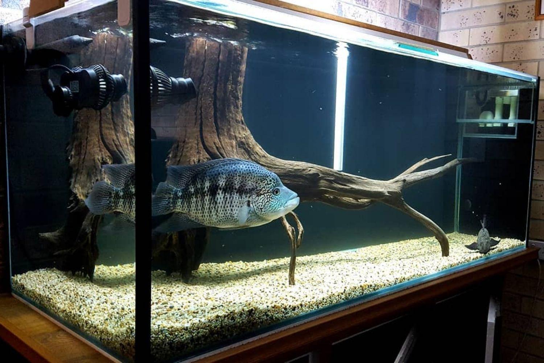 Wolf Cichli Aquarium