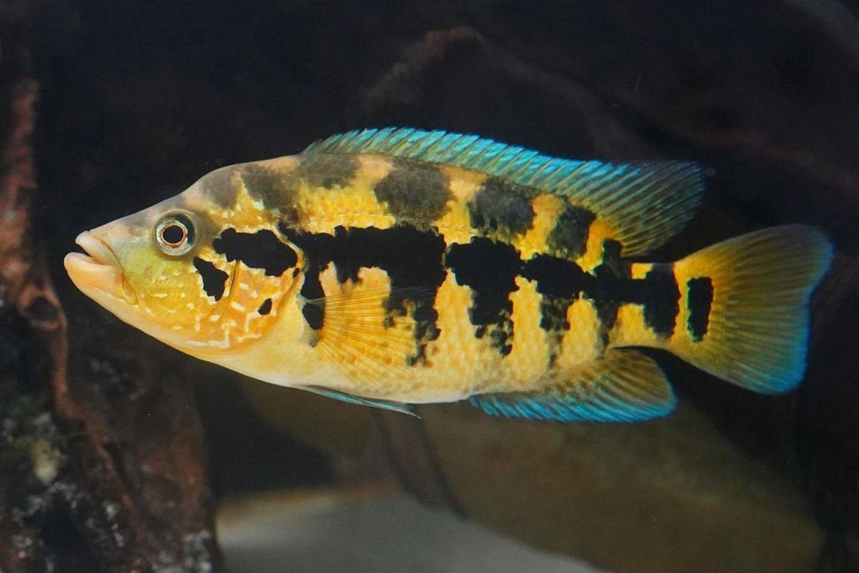 Wolf Cichli Female Fish