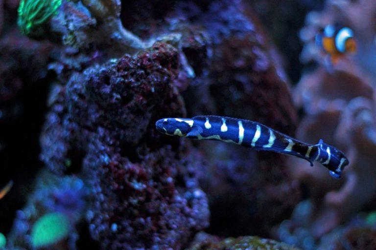 engineer goby saltwater aqaurium