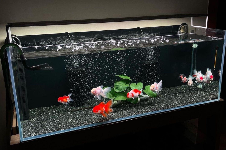 Freshwater Aquarium Goldfish